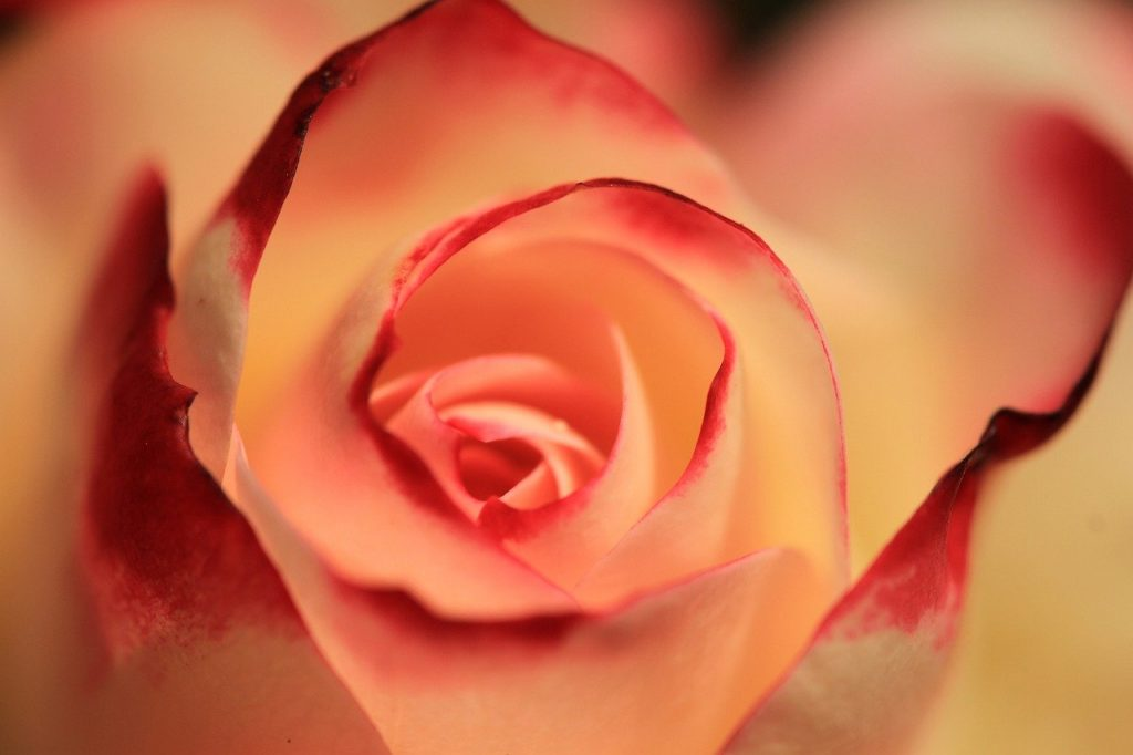 rose, orange rose, blossom
